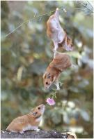 hamster_wingman